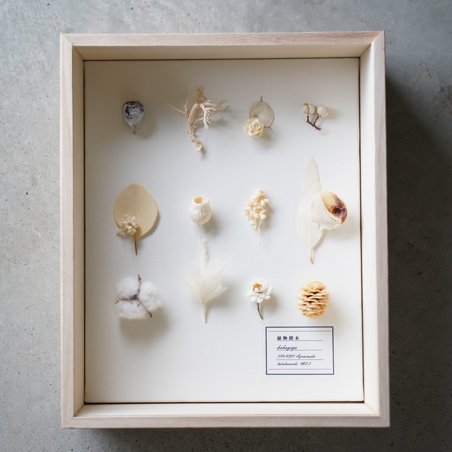 植物標本(白)