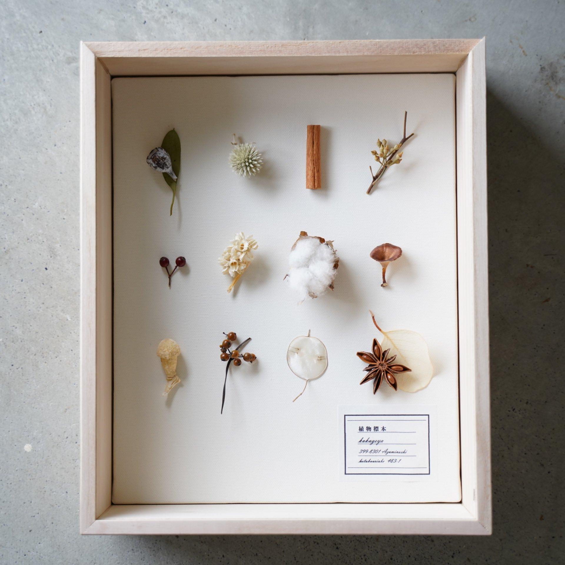 植物標本(キノコ小)