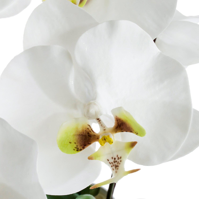 胡蝶蘭 供花 2本立ち