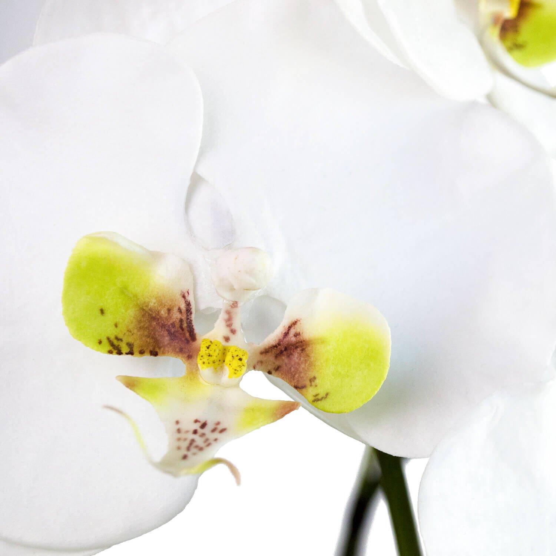 胡蝶蘭 供花 3本立ち