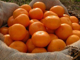 樹上甘熟みかん金の箱約5kg4,020円(S〜L)(40個~50個)