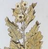 Icones Plantarum Medicinalium