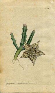 1787年 Curtis Botanical Magazine No.26 キョウチクトウ科 スタペリア STAPELIA VARIEGATA
