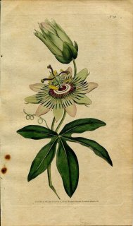 1787年 Curtis Botanical Magazine No.28 トケイソウ PASSIFLORA CAERULEA