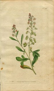1787年 Curtis Botanical Magazine No.29 モクセイソウ RESEDA ODORATA