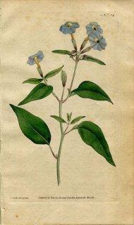 1787年 Curtis Botanical Magazine No.34 ナス科 ブロワリア属 BROWALLIA ELATA