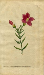1787年 Curtis Botanical Magazine No.37 リンドウ科 キロニア CHIRONIA FRUTESCENS