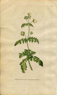 1787年 Curtis Botanical Magazine No.41 カルセオラリア科 キンチャクソウ属 CALCEOLARIA PINNATA