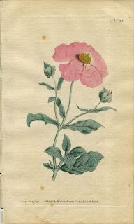 1787年 Curtis Botanical Magazine No.43 ハンニチバナ科 ムラサキゴジアオイ CISTUS INCANUS
