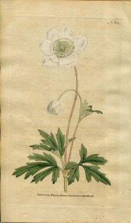 1787年 Curtis Botanical Magazine No.54 キンポウゲ科 アネモネ・シルウェストリス ANEMONE SYLVESTRIS