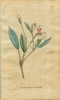 1787年 Curtis Botanical Magazine No.56 フウロソウ科 ゲラニウム GERANIUM LANCEOLATUM