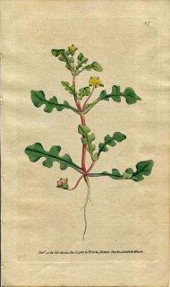 1788年 Curtis Botanical Magazine No.67 ハマミズナ科 メセンブリアンテマム MESEMBRYANTHEMUM PINNATIFIDUM