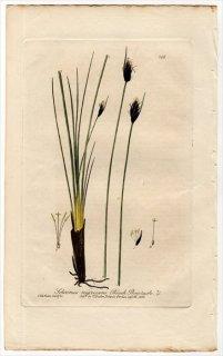 1839年 Baxter British Phaenogamous Botany Pl.268 カヤツリグサ科 ノグサ属 Schoenus nigricans