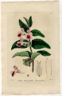 1839年 Baxter シソ科 メリティス Melittis Melissophyllum