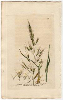 1839年 Baxter イネ科 カラスムギの仲間 Avena Pubescens