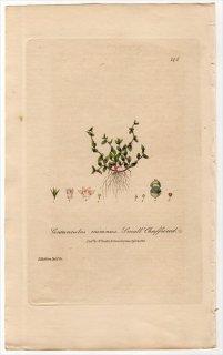 1839年 Baxter British Phaenogamous Botany Pl.296 サクラソウ科 オカトラノオ属 Centunculus Minimus