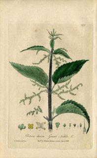 1839年 Baxter British Phaenogamous Botany Pl.298 イラクサ科 イラクサ属 セイヨウイラクサ Urtica Dioica
