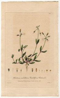 1839年 Baxter British Phaenogamous Botany Pl.299 ナデシコ科 カギザケハコベ属 Holosteum Umbellatum