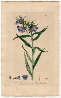 1839年 Baxter British Phaenogamous Botany Pl.301 ムラサキ科 ムラサキ属 Lithospermum Purpuro Coeruleum