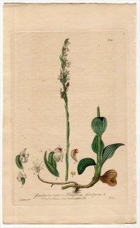 1839年 Baxter British Phaenogamous Botany Pl.309 ラン科 シュスラン属 ヒメミヤマウズラ Goodyera repens