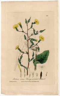1839年 Baxter British Phaenogamous Botany Pl.315 キク科 アキノノゲシ属 ワイルドレタス Lactuca Virosa