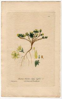 1839年 Baxter British Phaenogamous Botany Pl.316 ナデシコ科 タカネツメクサ属 Cherleria Sedoides