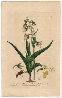 1839年 Baxter British Phaenogamous Botany Pl.317 ラン科 カキラン属 Epipactis Palustris
