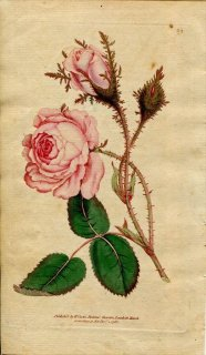 1788年 Curtis Botanical Magazine No.69 バラ科 ロサ・ムスコサ ROSA MUSCOSA