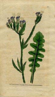 1789年 Curtis Botanical Magazine No.71 イソマツ科 イソマツ属 ハナハマサジ STATICE SINUATA