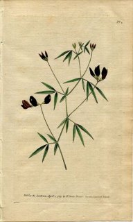 1789年 Curtis Botanical Magazine No.79 マメ科 ロータス LOTUS JACOBAEUS