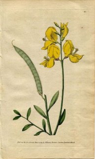 1789年 Curtis Botanical Magazine No.85 マメ科 レダマ SPARTIUM JUNCEUM