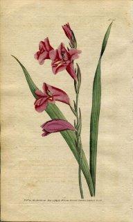 1789年 Curtis Botanical Magazine No.86 アヤメ科 グラジオラス GLADIOLUS COMMUNIS