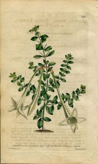 1790年 Curtis Botanical Magazine No.131 アカネ科 カテスバエア CATESBAEA SPINOSA