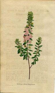1790年 Curtis Botanical Magazine No.138 ツツジ科 カルミア属 KALMIA HIRSUTA