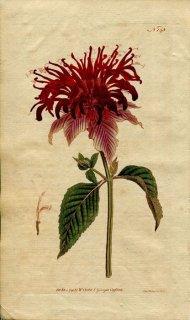 1791年 Curtis Botanical Magazine No.145 シソ科 ヤグルマハッカ属 ヤグルマハッカ MONARDA FISTULOSA