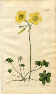 1793年 Curtis Botanical Magazine No.237 カタバミ科 カタバミ属 OXALIS CAPRINA