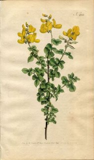 1794年 Curtis Botanical Magazine No.255 マメ科 エニシダ CYTISUS SESSILIFOLIUS