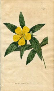 1794年 Curtis Botanical Magazine No.281 トケイソウ科 ターネラ TURNERA ANGUSTIFOLIA