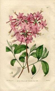1816年 Edwards Botanical Register No.120 ツツジ科 アザレア AZALEA nudiflora