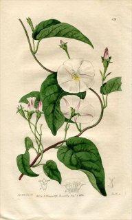 1816年 Edwards Botanical Register No.132 ヒルガオ科 セイヨウヒルガオ属 CONVOLVULUS suffruticosus