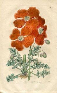 1816年 Edwards Botanical Register No.134 ケシ科 パパウェル PAPAVER floribundum