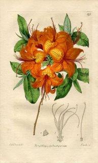1816年 Edwards Botanical Register No.145 ツツジ科 アザレア AZALEA calendulacea