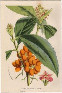 1857年 Van Houtte ヨーロッパの植物 ガリア科 アオキ属 ヒマラヤアオキ AUCUBA HIMALAICA