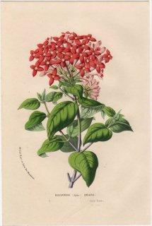 1857年 Van Houtte ヨーロッパの植物 アカネ科 ブバルディア BOUVARDIA (Hybr) ORIANA
