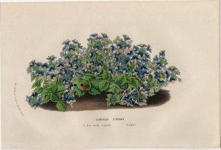 1857年 Van Houtte ヨーロッパの植物 オオバコ科 クワガタソウ VERONICA SYRIACA