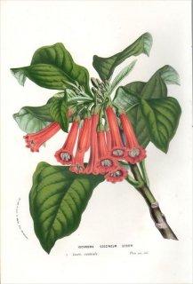1857年 Van Houtte ヨーロッパの植物 ナス科 イオクロマ IOCHROMA COCCINEUM
