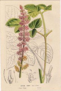 1857年 Van Houtte ヨーロッパの植物 ユキノシタ科 オオチダケサシ ASTILBE RUBRA