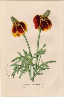1857年 Van Houtte ヨーロッパの植物 キク科 ラチビダ属 OBELISCARIA PULCHERRIMA