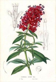 1857年 Van Houtte ヨーロッパの植物 サクラソウ科 オカトラノオ属 LYSIMACHIA NUTANS