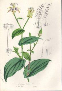 1857年 Van Houtte ヨーロッパの植物 ユリ科 ホトトギス TRICYRTIS PILOSA Wall